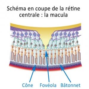 schema-coupe-macula-retine-oeil